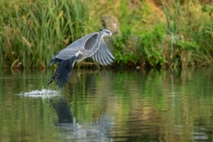 Grey Heron with Catch