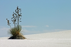 Yuca Plant - White Sands