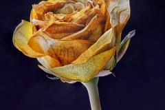 Diminishing Rose