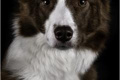 Red Border Collie Portrait