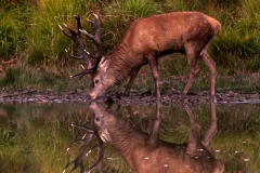 Reflected Stag